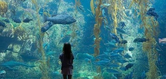 Kelp forest tank, Birch Aquarium